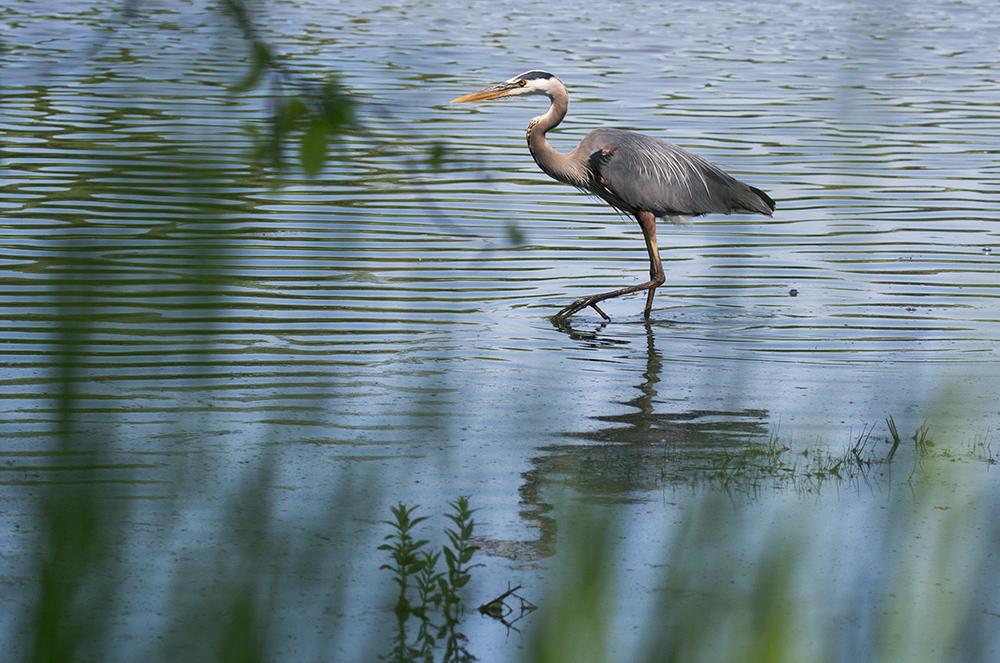 Great blue heron walking in water