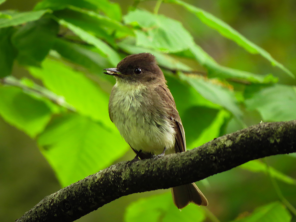 Eastern phoebe with a seed in its mouth perched on a branch