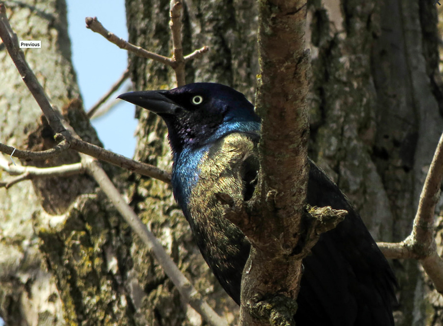 close up of common grackle in a tree