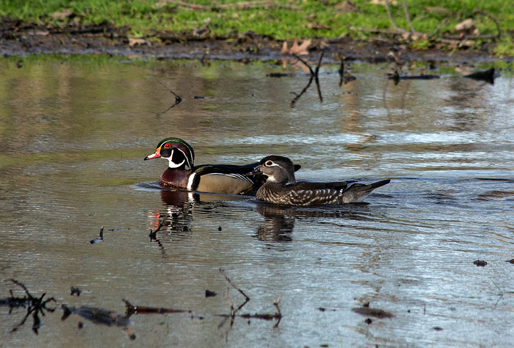 a pair of male and female wood ducks swimming