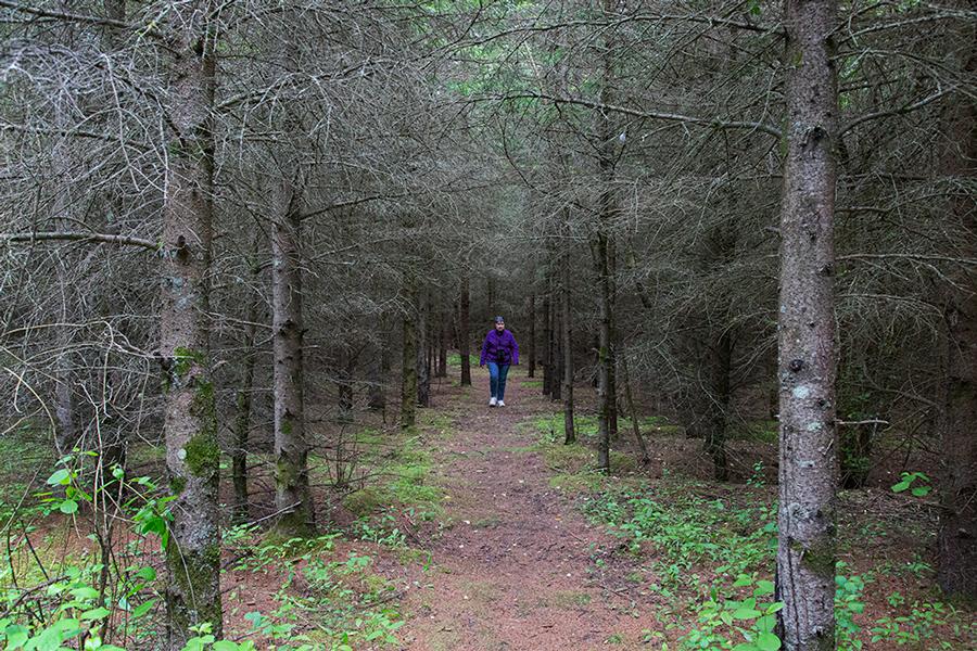 a lone hiker in a pine grove