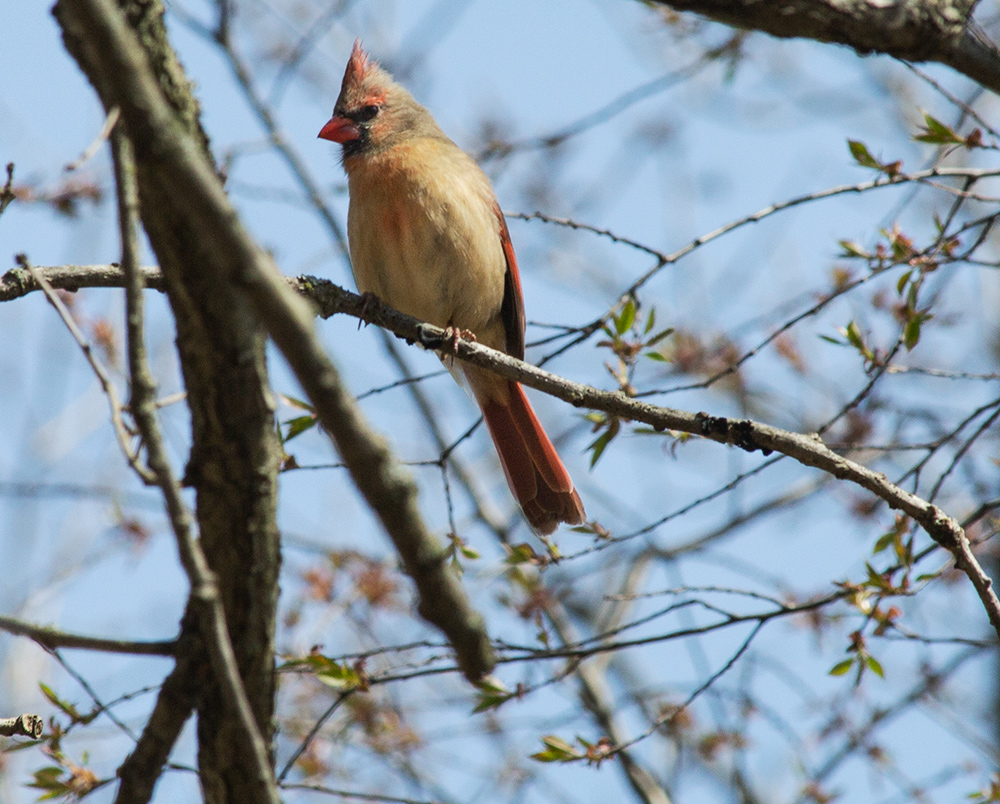 female cardinal sitting on a bare branch