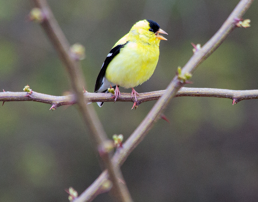 goldfinch perched on a bare branch at Lake Park