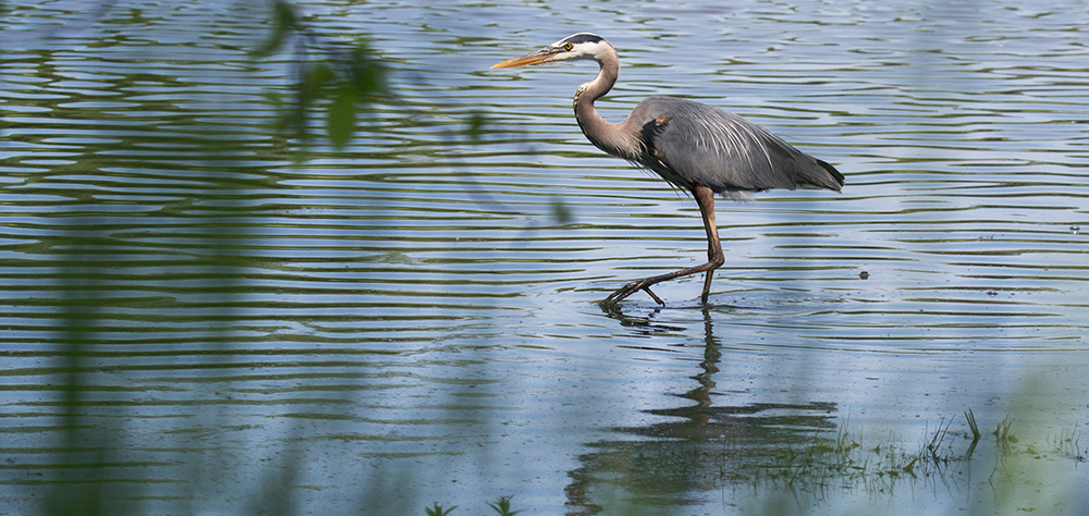 great blue heron standing on one leg in water