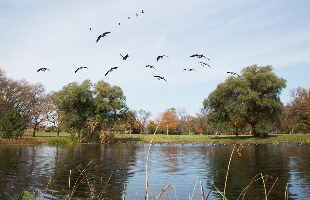 a flock of Canada geese swooping in for a landing on a pond
