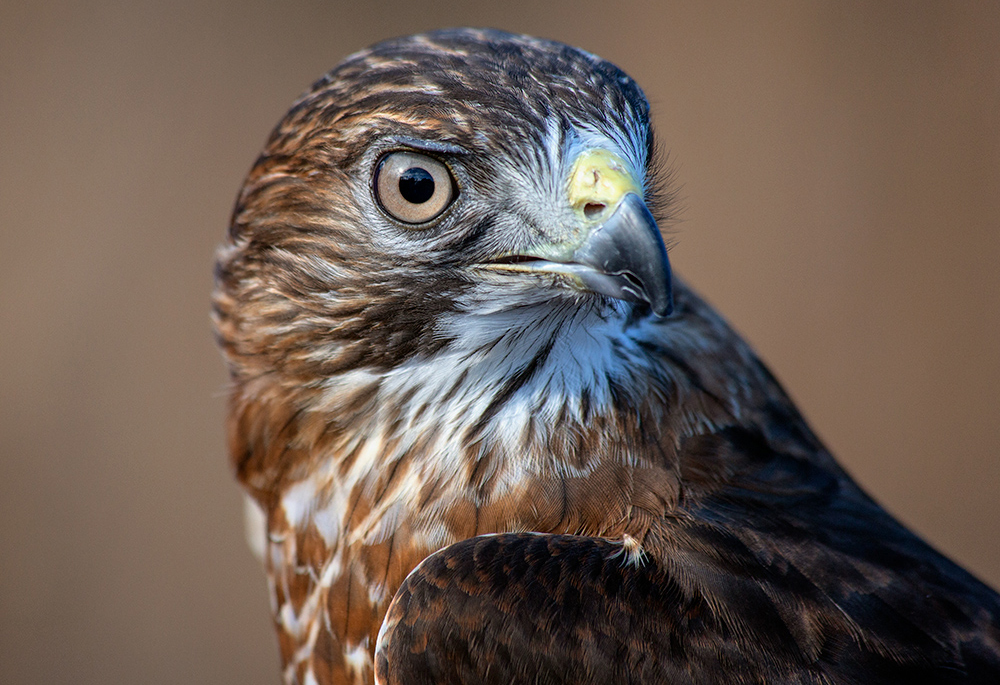 close up of Nicco, a broad-winged hawk