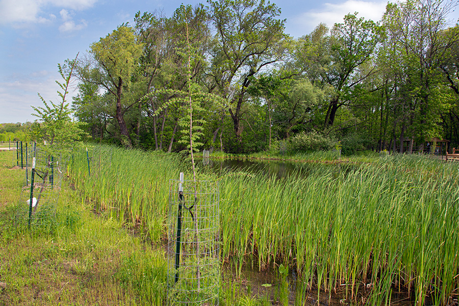 restored wetland with pond, cattails and staked tamarack trees