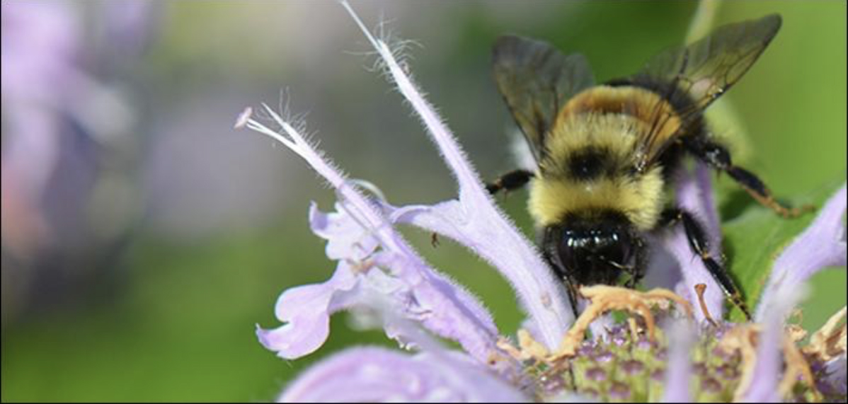An endangered Rusty Patched Bumble Bee pollinating a purple wild bergamot flower