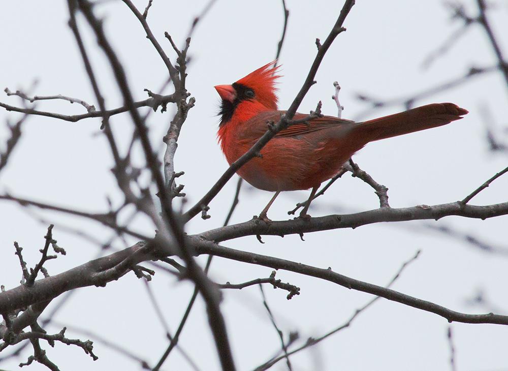 male cardinal strutting on a bare branch