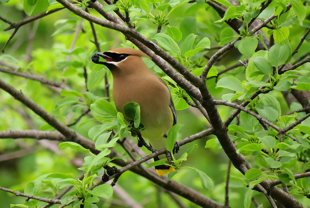 cedar waxwing eating a berry in lush foliage
