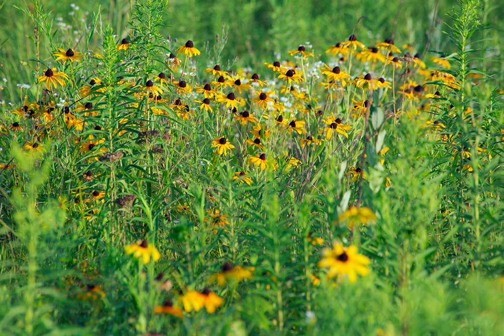 a patch of yellow wildflowers in a field