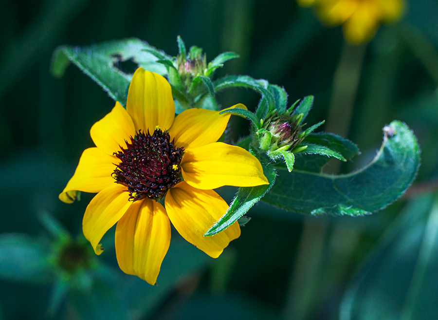 Brown eyed susan blossom