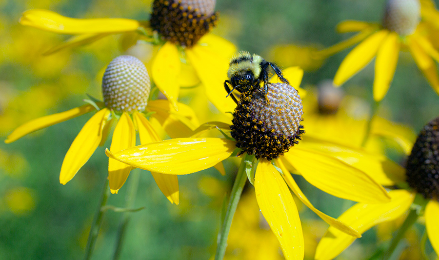 bumblebee on grey-headed coneflower