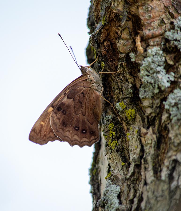 Hackberry emperor butterfly on tree