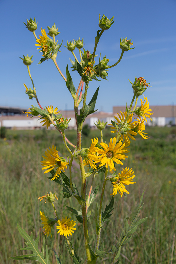 Compass plant in bloom with Palermo's Pizza factory in background