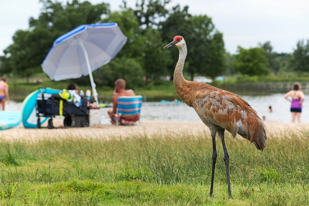 a sandhill crane standing in grass with people on a beach in the background
