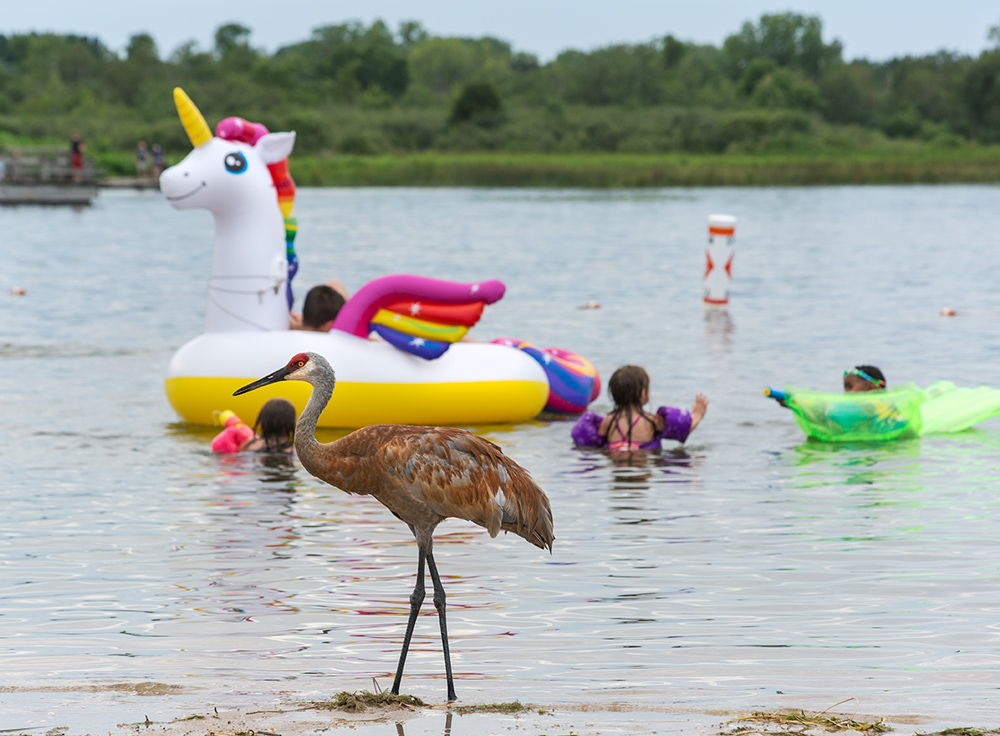 sandhill crane standing in the water at the edge of a lake with children playing with inflatables in the background