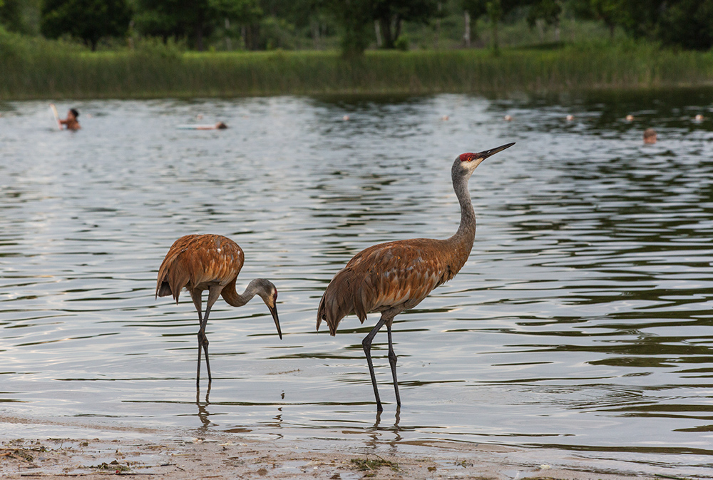 two sandhill cranes standing in the water at the edge of a lake with people swimming in the background.