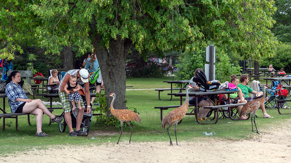 three sandhill cranes standing among people sitting at picnic tables