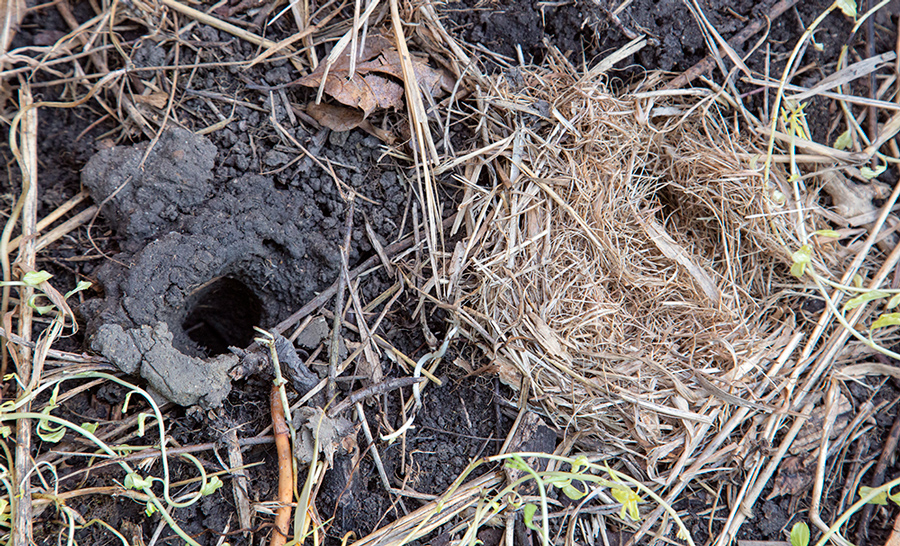 A crayfish burrow hole and small mammal nest under a board