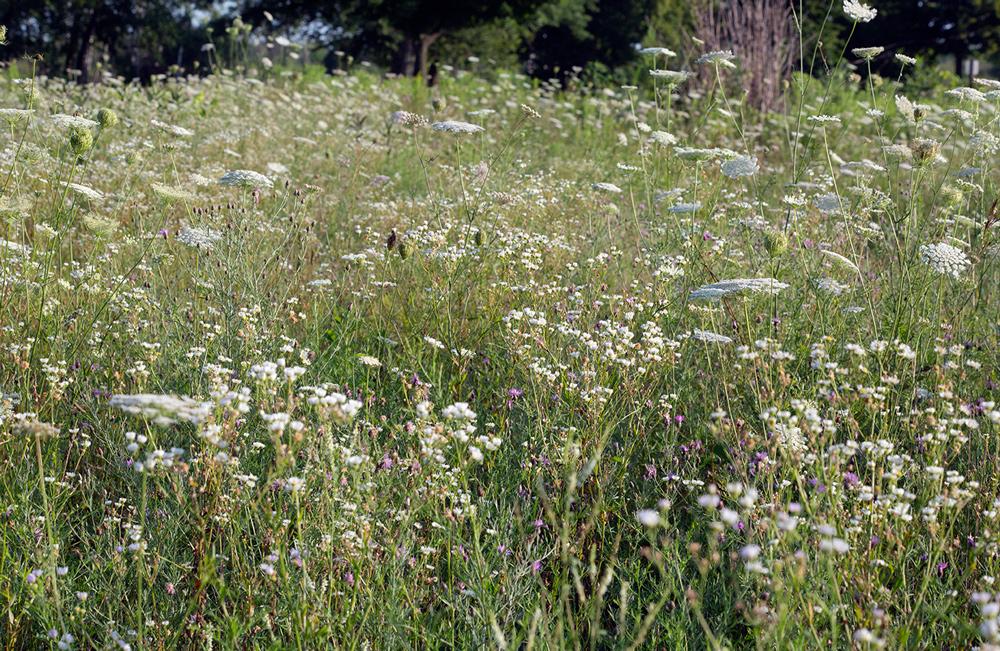 Field of white wildflowers