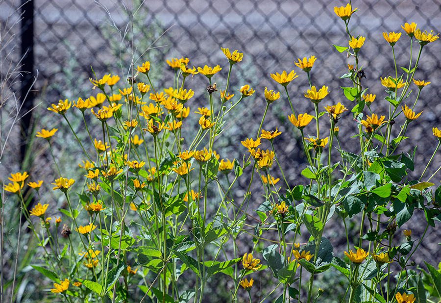 A patch of False Sunflower in front of chain link fence