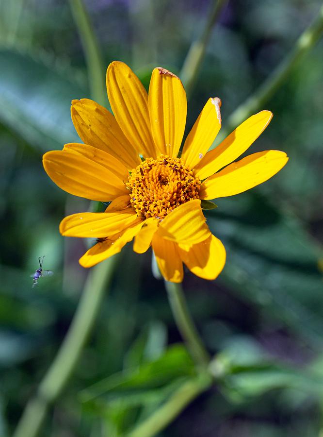 False Sunflower blossom