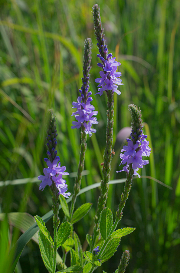 Four stalks of Hoary Vervain in bloom