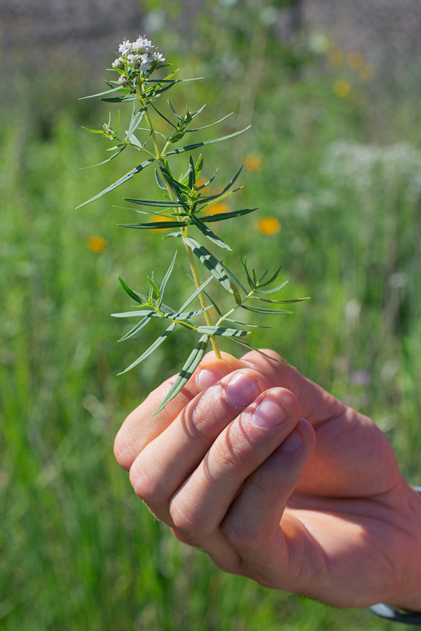 A hand holding a sprig of Mountain mint in bloom