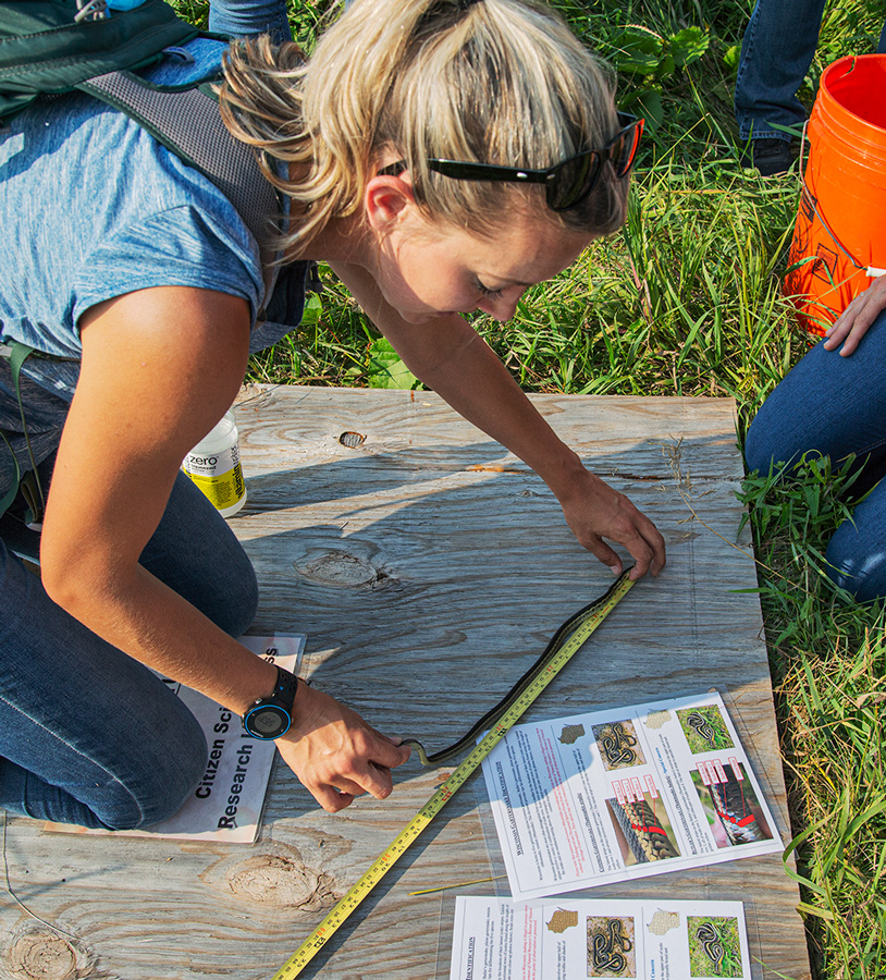 A woman measures the length of a garter snake on a plywood board