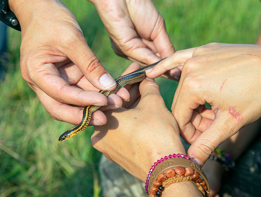A young garter snake being held by four hands, one pointing to its markings