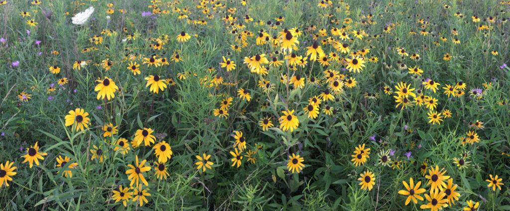 A field of black-eyed Susans