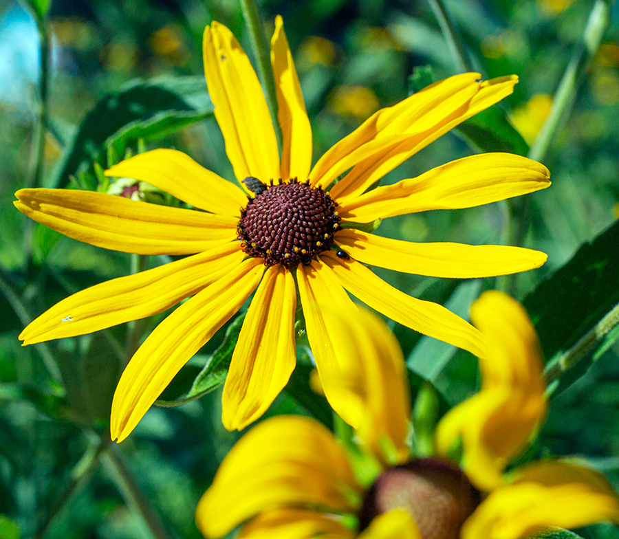 Sweet black eyed susan blossom close up