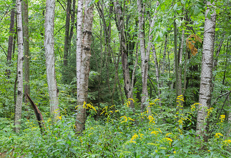 birch tree grove with goldenrod