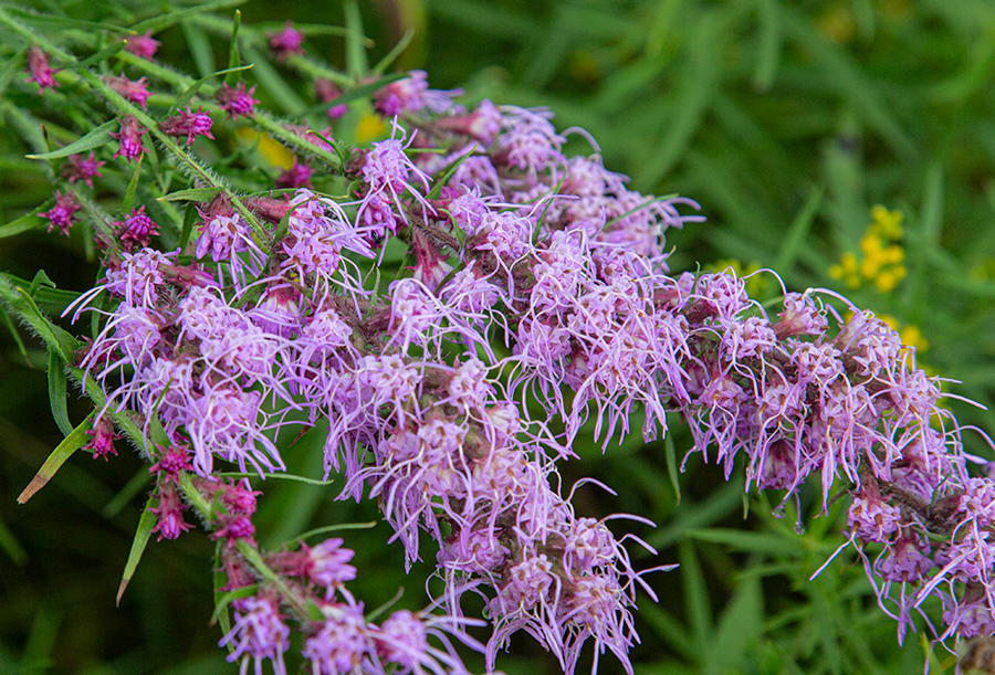 Drooping blazing star flowers