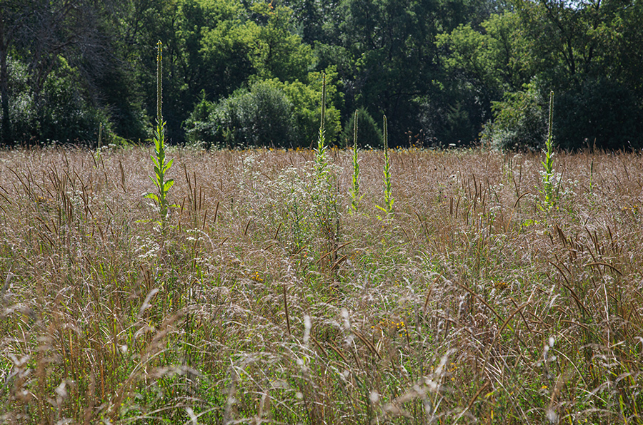 field of tall grass and wildflowers with woodland in the background