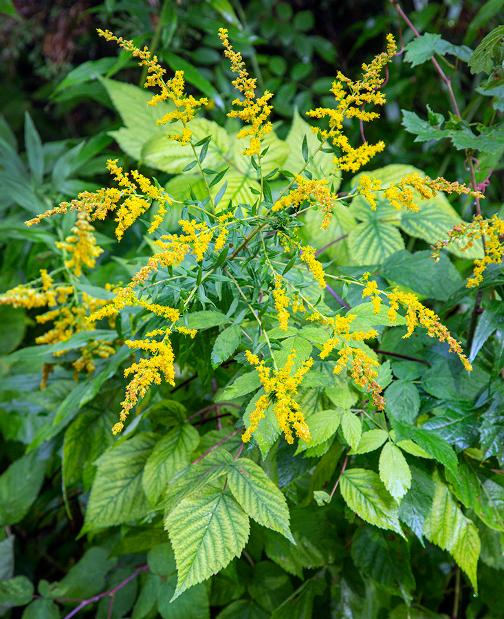 radiating goldenrod atop spreading leaves