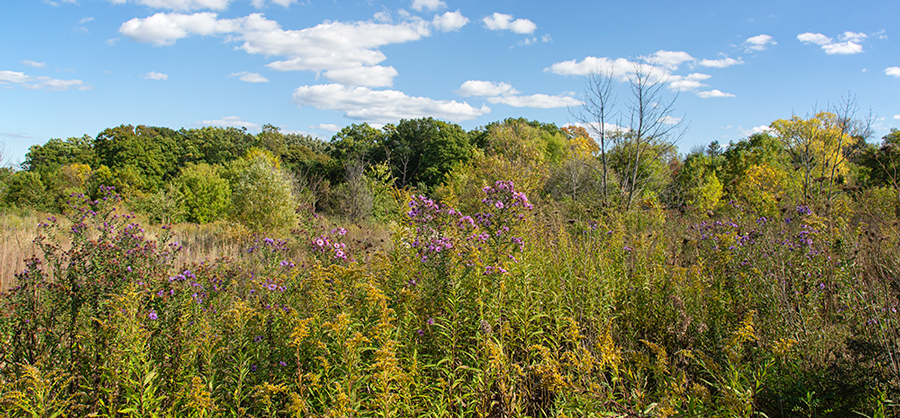 Sanctuary Woods viewed across a lush meadow with purple asters and autumn leaves