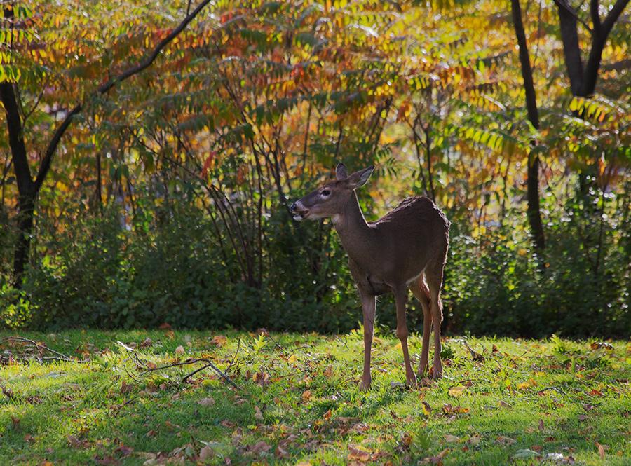 a deer backlit at sunset