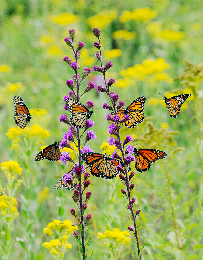monarch butterflies flying around blazing star blossoms