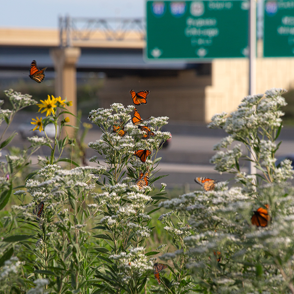 Monarch butterflies on boneset blossoms next to the freeway