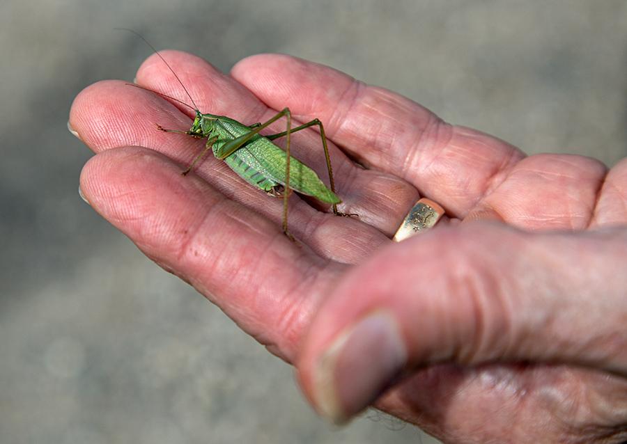 A hand holding a green katydid