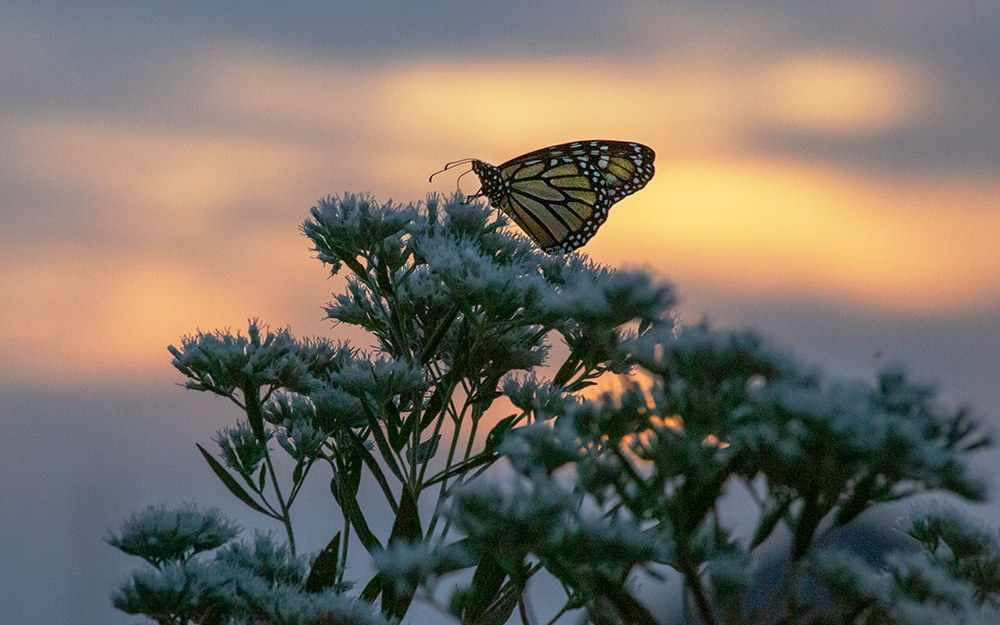 Monarch on boneset silhouetted by the sunset