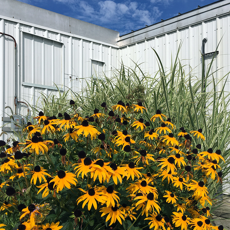 A patch of black-eyed Susans in front of a white steel structure