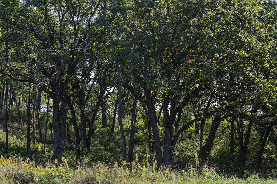 a stand of oak trees