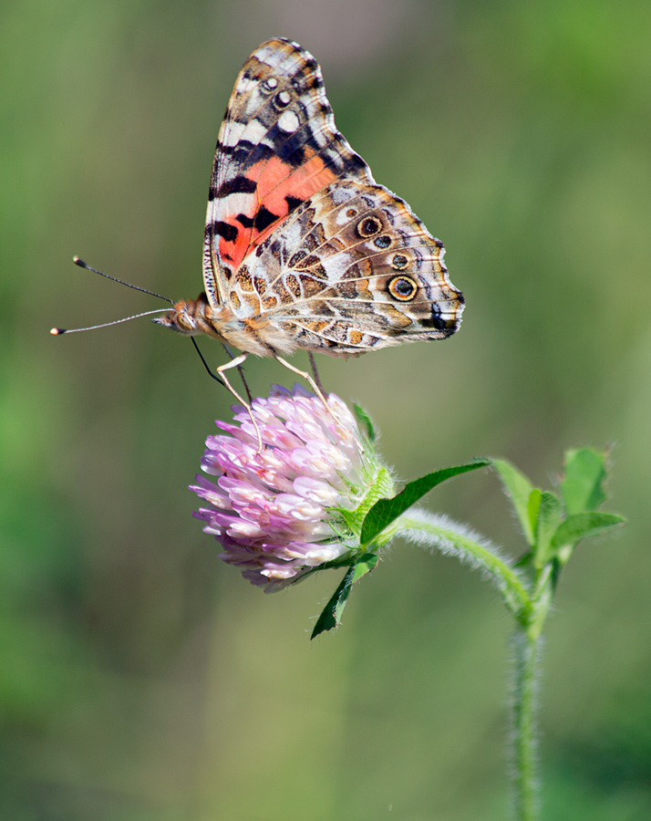 a painted lady butterfly on clover blossom