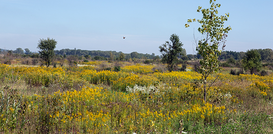 Sauk Prairie State Recreation area prairie with goldenrod and other wildflowers