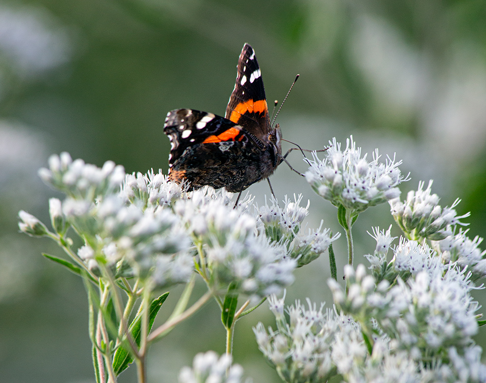 Red admiral butterfly on boneset