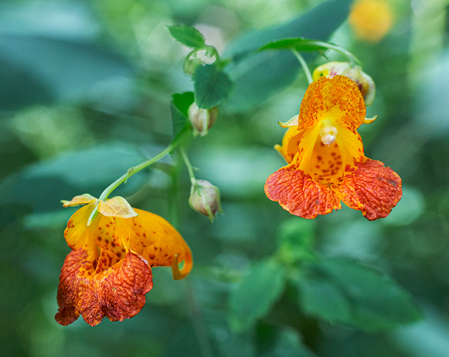 jewel weed blossoms