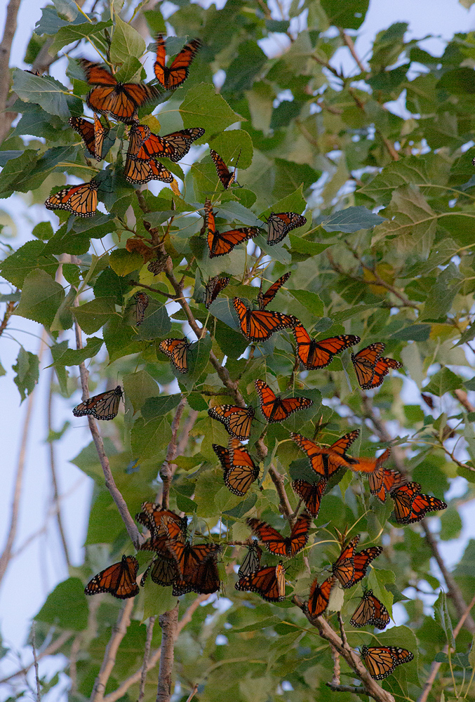 Monarchs settling in to roost for the night